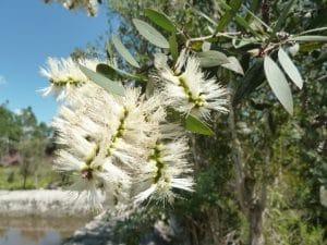 niaouli flower