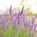 Knowing the different lavender even if you are not an expert