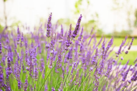 You are currently viewing Knowing the different lavender even if you are not an expert