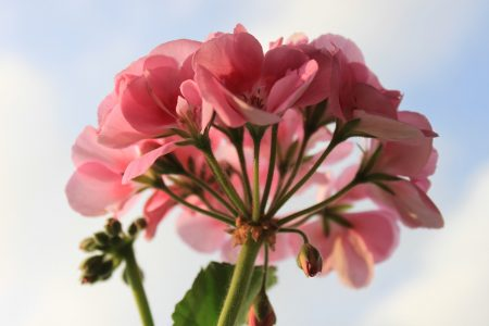 You are currently viewing How to use Geranium Essential Oil
