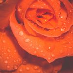 The 10 benefits of rose floral water used daily