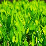 How to use Noble Laurel essential oil