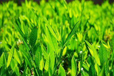 You are currently viewing How to use Noble Laurel essential oil
