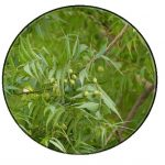 Neem oil – Organic