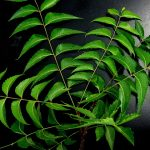 What is NEEM OIL?