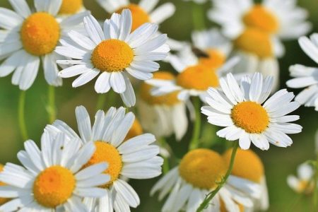 Roman Chamomile floral water