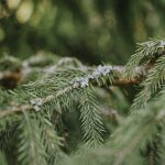 How to use Black Spruce Essential Oil?
