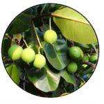 Tamanu oil – Organic